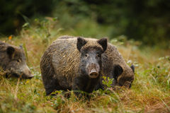 Wild boar sounder in dense undergrowth Royalty Free Stock Image
