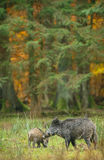 Wild boar sounder in fall colours Stock Images