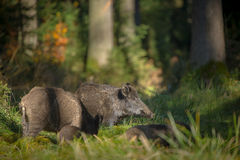 Wild boar sounder in fall colours. A wild boar sow and young forage for food in autumn Royalty Free Stock Photos