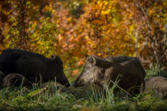 Wild boar sounder in fall colours. A wild boar sow and young forage for food in autumn Royalty Free Stock Photo