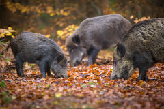 Wild boar sounder Royalty Free Stock Photography