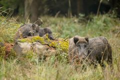 Wild boar sounder out foraging Stock Image