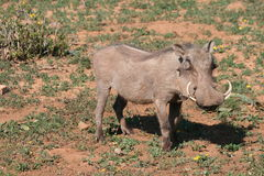 Wild Boar in South Africa Stock Photography