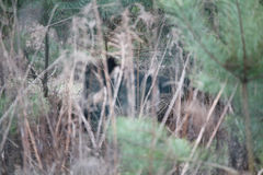 Wild boar sow in a den in a forest Stock Image