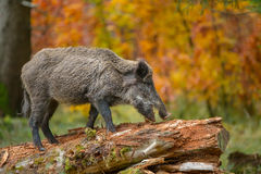 Wild boar sow in fall Royalty Free Stock Photo