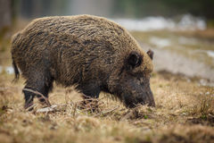 Wild boar sow foraging in winter forest. Wild boar sow foraging in winter at the edge of a forest, Germany Royalty Free Stock Photo
