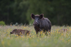 Wild boar sow with piglets Stock Image