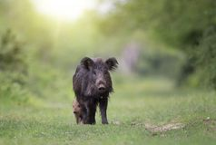 Wild boar sow taking care of piglet Royalty Free Stock Image