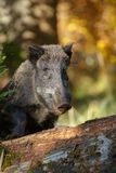 Wild boar sow watching carefully Stock Photo