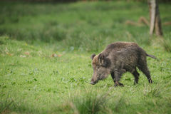 Wild boar sow Royalty Free Stock Photography