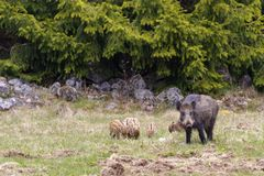 Wild boar sow with young piglets on a meadow. At the forest edge royalty free stock photo