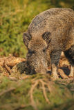 Wild boar in spring forest Royalty Free Stock Photography