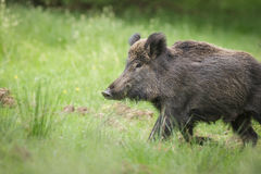 Wild boar in spring Stock Photos