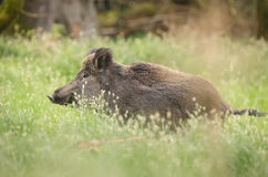 Wild boar in spring Royalty Free Stock Images