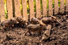 Wild boar in the stable royalty free stock image