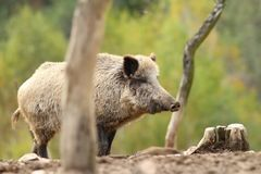 Wild boar standing on clearing Stock Photography