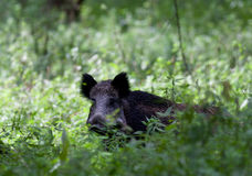 Wild boar. Standing in forest royalty free stock images