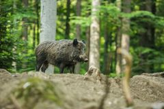 A wild boar standing in a forest royalty free stock photo