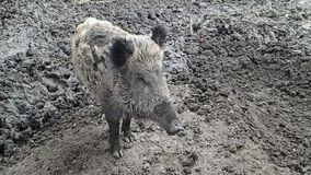 Wild boar standing in mud stock video