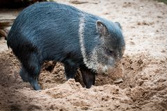 Wild boar standing in the sand Royalty Free Stock Photography