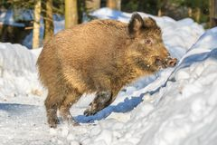 Wild boar standing in the snow in winter,. Wild boar piglet Sus scrofa running in the snow in winter, Germany, Europe Stock Images