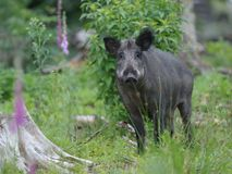 Wild boar summer Stock Photos