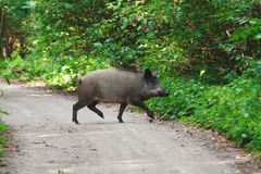 Wild boar in a summer forest Stock Photos