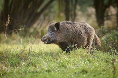 Wild boar in summer meadow Royalty Free Stock Photography