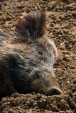 A wild boar in the sun Royalty Free Stock Photo
