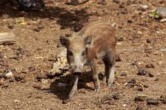 Wild boar close-up. Wild boar on a sunny day closeup Stock Images