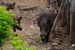 Wild boar close-up. Wild boar on a sunny day closeup Stock Image