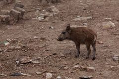 Wild boar close-up. Wild boar on a sunny day closeup Royalty Free Stock Images