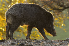 Wild boar in sunset light Royalty Free Stock Image