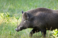 Wild boar (sus) Stock Photo