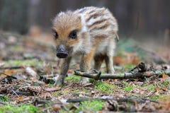 Wild boar, Sus scofra Stock Photos