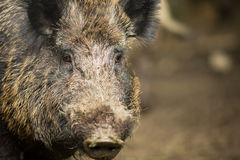 Wild boar (Sus scrofa) Royalty Free Stock Photos