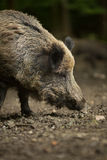 Wild boar (Sus scrofa) Royalty Free Stock Photo
