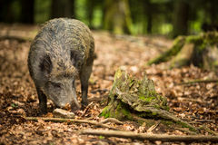 Wild boar (Sus scrofa) Stock Images