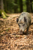 Wild boar (Sus scrofa) Royalty Free Stock Image