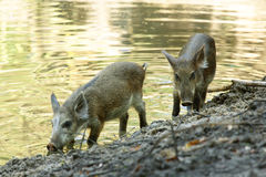 Wild Boar ( Sus scrofa ) Royalty Free Stock Images