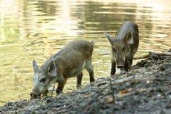 Wild Boar ( Sus scrofa ) Royalty Free Stock Images