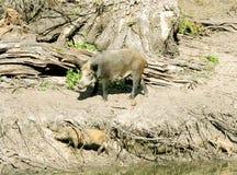Wild Boar ( Sus scrofa ) Stock Images
