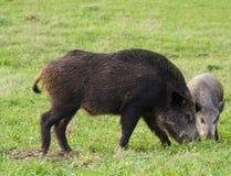 Wild Boar ( Sus Scrofa ) Royalty Free Stock Image