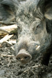 Wild Boar ( Sus scrofa ) Royalty Free Stock Photos