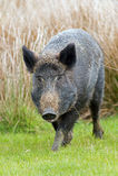 Wild Boar (sus scrofa) Stock Image