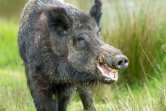 Wild Boar (sus scrofa) Royalty Free Stock Images