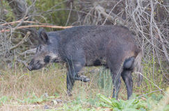 Wild Boar (Sus scrofa) Adult side view. Santa Clara County, California, USA. Common name: Wild boar, wild hog, feral pig, feral hog, Old World Stock Photography
