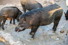 Wild boar Sus scrofa, also known as wild pig. royalty free stock images