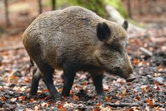 The wild boar Sus scrofa, also known as the wild swine, common wild pig or simply wild pig in the high forest