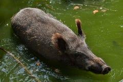 Wild boar Sus scrofa Royalty Free Stock Photos